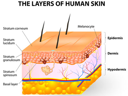 The Layers of Human Skin « fashionandstylepolice